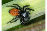 jumping spider Carrhotus xanthogramma Carrhotus xanthogramma