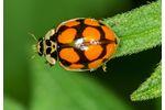 ten-spotted lady beetle (Adalia decempunctata) Adalia decempunctata