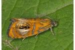 obaleč zdobený (Olethreutes arcuellus) Olethreutes arcuellus