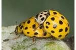 22 Spot Ladybird (Psyllobora vigintiduopunctata) Psyllobora vigintiduopunctata