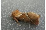 hrotnokřídlec salátový (Triodia sylvina) Triodia sylvina