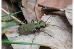 green tiger beetle (Cicindela campestris) Cicindela campestris