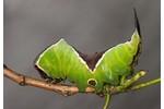 housenka hranostajníka vrbového (Cerura vinula) Cerura vinula