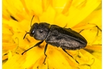 metallic wood-boring beetle (Anthaxia quadripunctata) Anthaxia quadripunctata