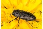 krasec čtyřtečný (Anthaxia quadripunctata) Anthaxia quadripunctata