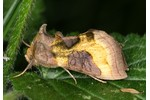 Burnished Brass (Diachrysia chrysitis) Diachrysia chrysitis