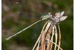 Green Emerald Damselfly (Chalcolestes viridis) Chalcolestes viridis
