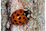 multicolored Asian lady beetle (Harmonia axyridis) Harmonia axyridis