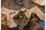 znakoplavka obecná (Notonecta glauca) Notonecta glauca