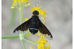 black-cloaked bee-fly Hemipenthes velutina Hemipenthes velutina