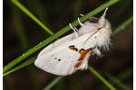 hřbetozubec dvoubarvý (Leucodonta bicoloria) Leucodonta bicoloria
