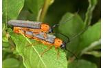 Twin spot longhorn beetle (Oberea oculata) Oberea oculata