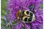 bee beetle (Trichius fasciatus) Trichius fasciatus