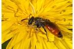 cuckoo bee (Sphecodes) Sphecodes