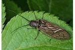 alderfly (Sialis) Sialis