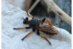 robber fly (Pogonosoma maroccanum) Pogonosoma maroccanum