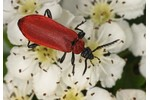 cardinal beetle (Pyrochroa coccinea) Pyrochroa coccinea