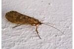 caddis fly Phrygaena grandis Phrygaena grandis
