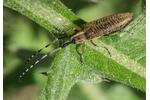 golden-bloomed grey longhorn beetle (Agapanthia villosoviridescens) Agapanthia villosoviridescens