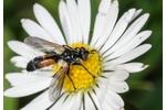 tachinid fly Cylindromyia pusilla Cylindromyia pusilla