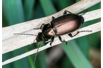 ground beetle (Poecilus) Poecilus