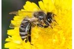 honey bee (Apis mellifera) Apis mellifera