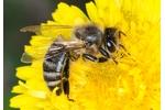 včela medonosná (Apis mellifera) Apis mellifera