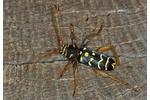 longhorned beetle Plagionotus arcuatus Plagionotus arcuatus