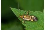 klopuška žíhaná (Rhabdomiris striatellus) Rhabdomiris striatellus