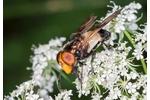 Large Pied-hoverfly (Volucella pellucens) Volucella pellucens