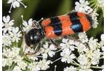 bee beetle (Trichodes apiarius] Trichodes apiarius
