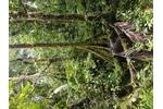 Horský les v oblasti hory Kagalalo, jižní Bougainville.  Horský les v oblasti hory Kagalalo, jižní Bougainville.
