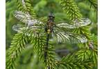 Vážka čárkovaná Dospělý samec vážky čárkované těsně po přeměně, foto Vojtěch Kolář