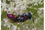 cuckoo wasp Chrysis bicolor Chrysis bicolor