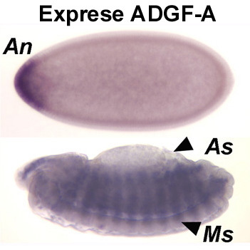 Extracellular adenosine is an important drosophila growth regulator