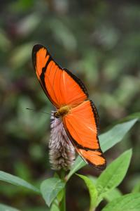 The origin of tropical hyperdiversity, example from Latin American butterflies