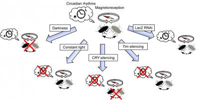 Cryptochrome 2 mediates directional magnetoreception in insects