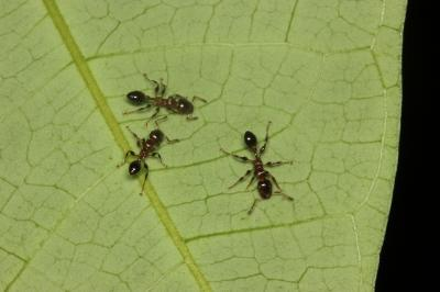 An uphill struggle: the break-down of an ant-plant protection mutualism with elevation