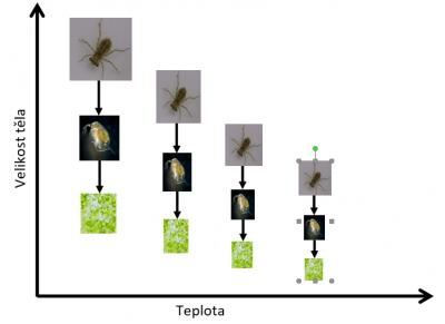 Persistence of species in trophic chains depends on temperature-size responses of individuals