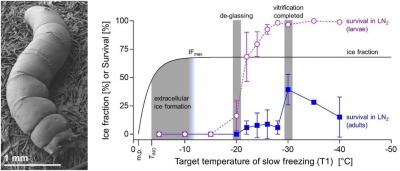 How does the ice fraction and glass transition relate to insect freezing survival?