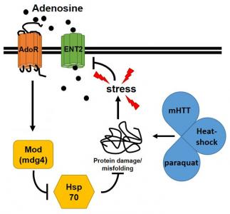 Extracellular adenosine functions as a stress signaling molecule