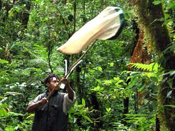 Sweeping for insects in a montane rainforest