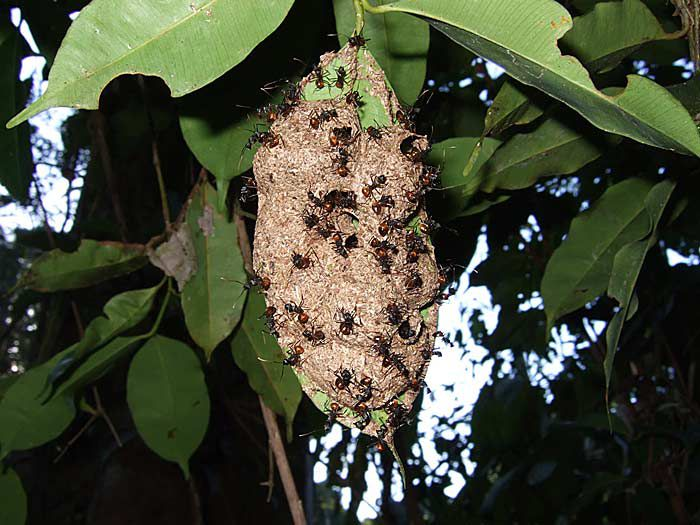 Polyrhachis Ant Nest