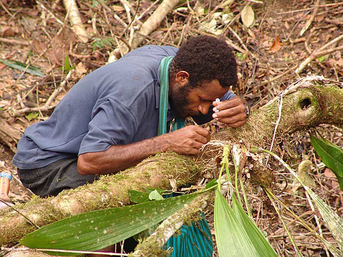 Papuan collector during the ant sampling