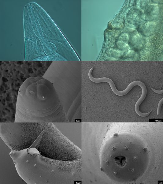entomopathogenic nematodes